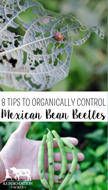 8 Ways to Organically Control Mexican Bean Beetles