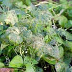 Mexican Bean Beetle: 8 Ways to Organically Control Them