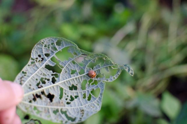 8 Ways to Organically Control Mexican Bean Beetles; mexican bean beetle