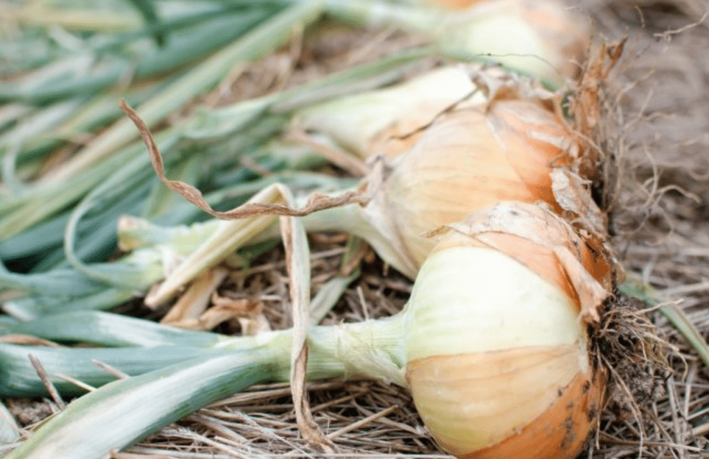 A Guide to Growing Onions from Seed to Harvest