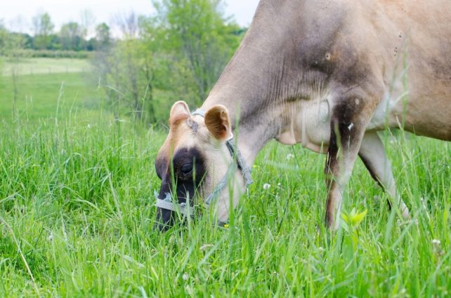Reasons to Use Rotational Grazing on a Homestead