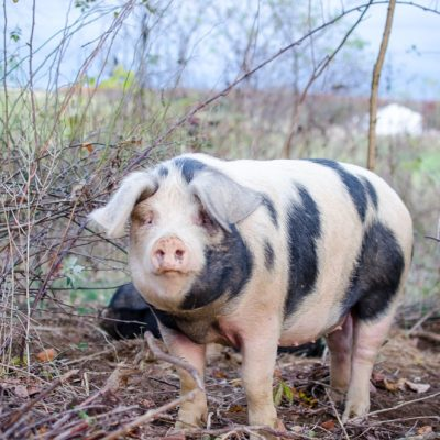 The Dirty Truth about Homestead Pigs on Pasture