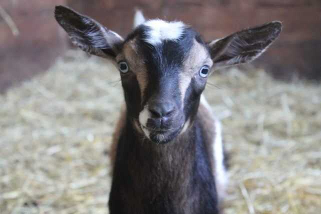 Raising Goats; Does raising goats naturally mean substituting herbal remedies for pharmaceuticals. But is that really sustainable? Check out these tips for raising goats!