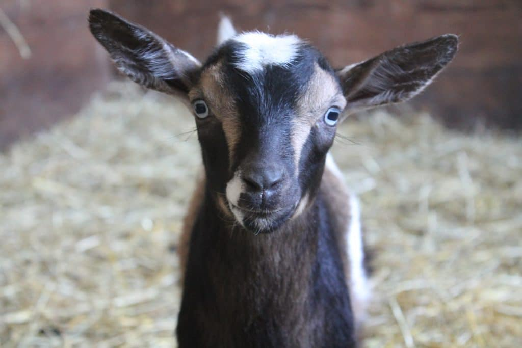 Raising Goats: 4 Tips for Doing It Naturally