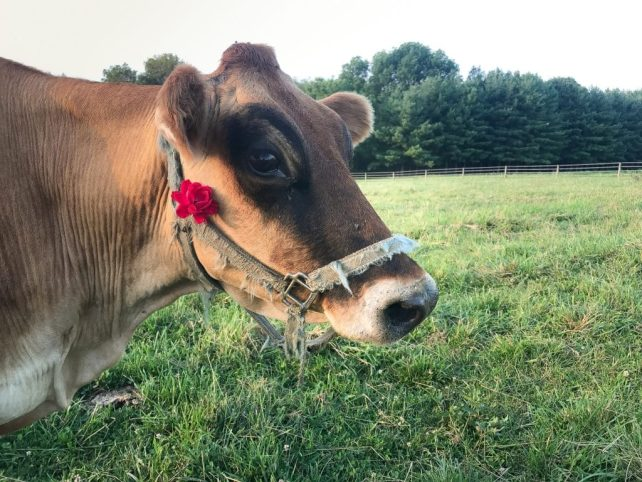 Cow vs Goat: Which Should You Raise on Your Homestead?