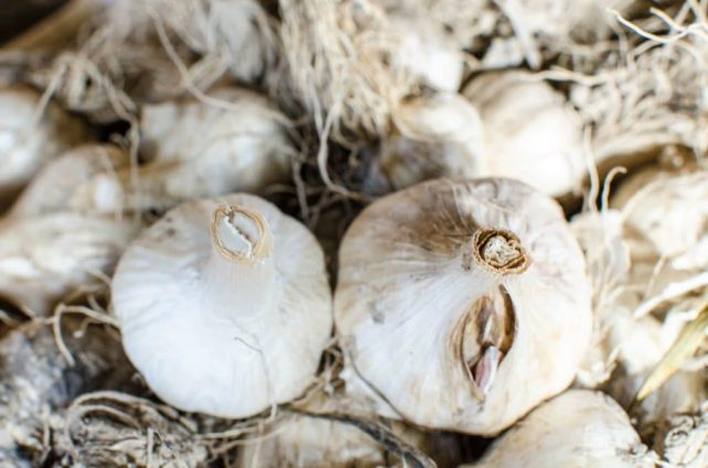 How to Manage your Garlic Harvest (So You Don't Lose Any to Bugs or Rot)