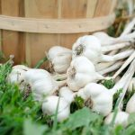 How to Manage your Garlic Harvest (So You Don't Lose Any)