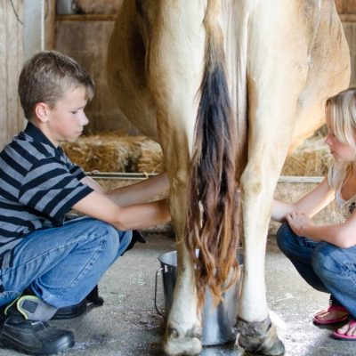 How to Milk a Cow by Hand