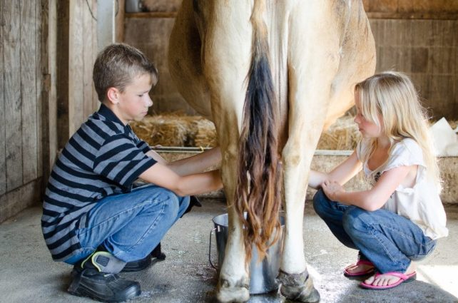How to Hand Milk a Family Cow