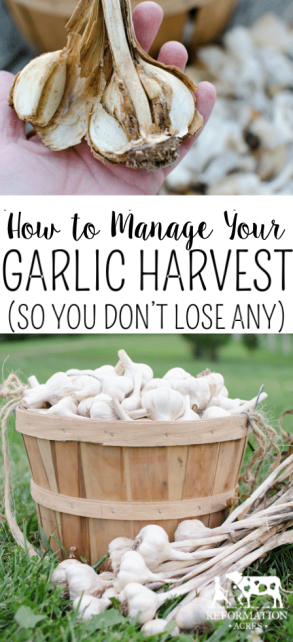 Whether you got a few pounds or a whole bushel, you want to properly cure, sort, manage, and store the garlic so you still have good garlic in the middle of winter. How to Manage your Garlic Harvest (So You Don't Lose Any to Bugs or Rot)