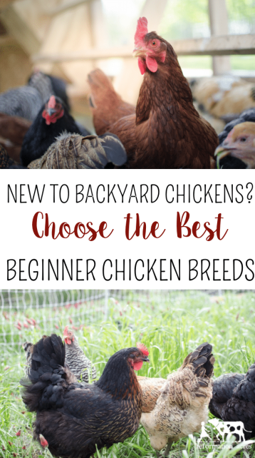Best Backyard Chickens; New to Backyard Chickens? Choose the Best Beginner Chicken Breeds (and a few to avoid your first year)