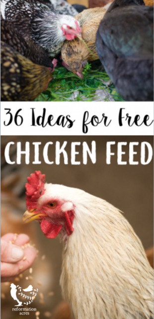 Free Chicken Feed Ideas -After I started raising backyard chickens, I learned feed isn't cheap! Here are 36 free chicken feed ideas to save money on the chicken feed bill!