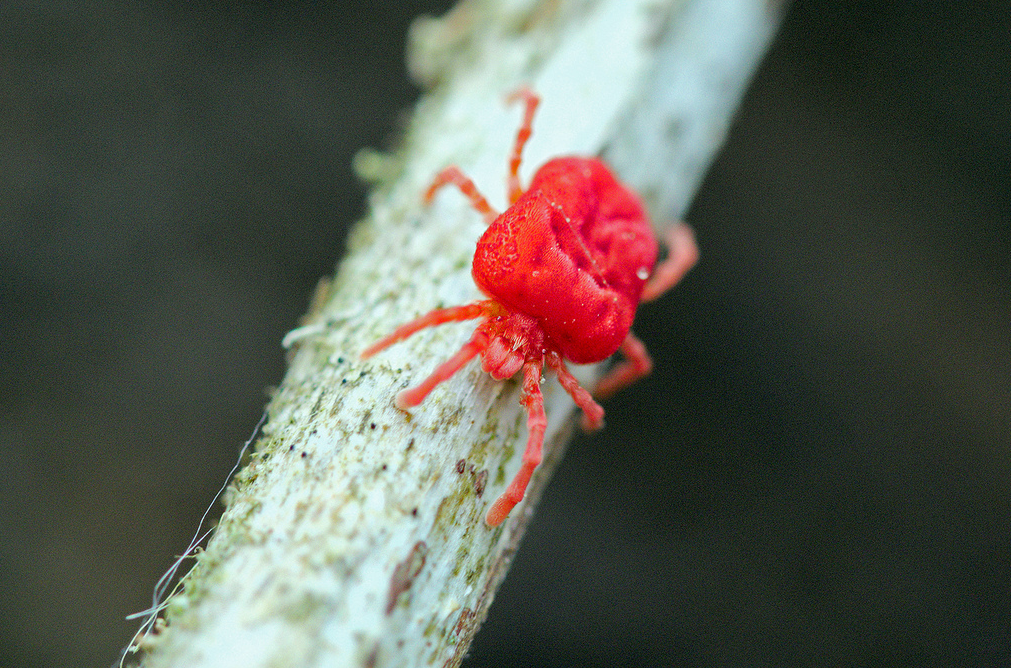 Red chigger on a stick
