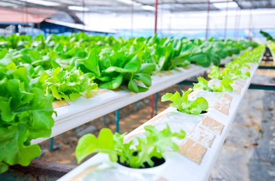 Hydroponic plants in a greenhouse garden