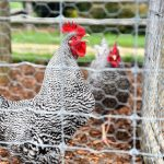 How To Build A Chicken Coop: A Step By Step Guide