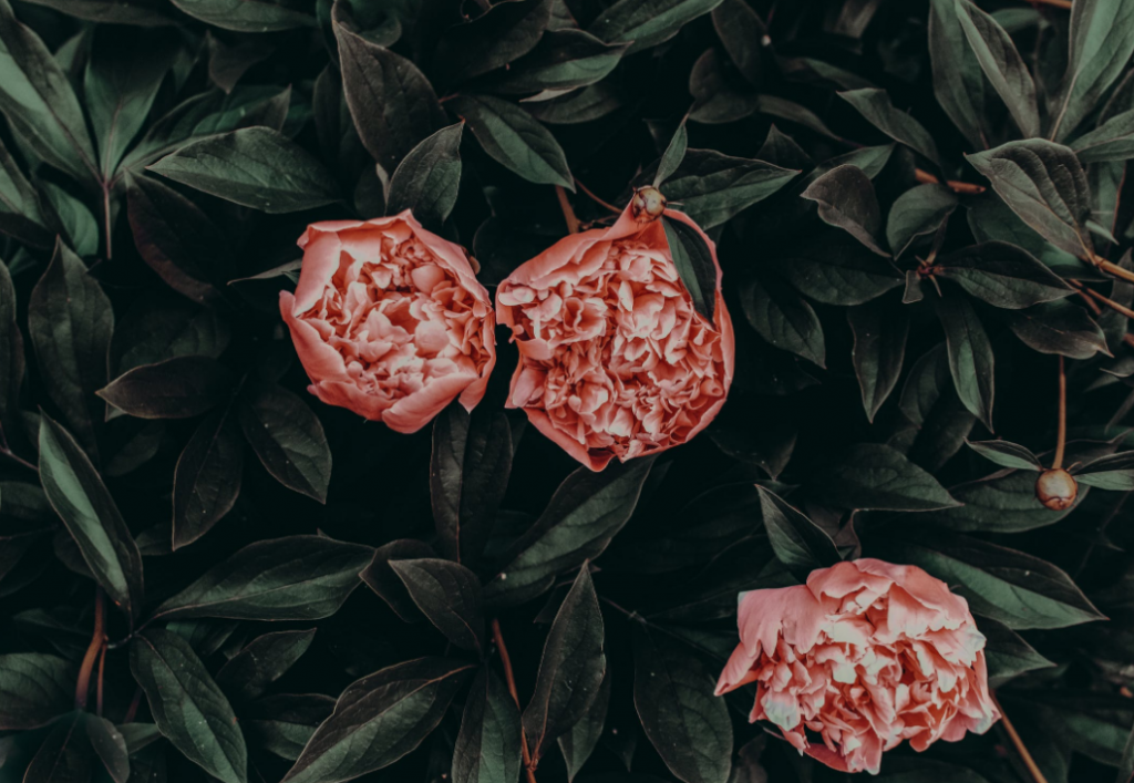 three pieces of peony flower