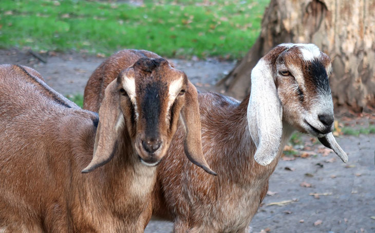Goat Breeds: Anglo-Nubian
