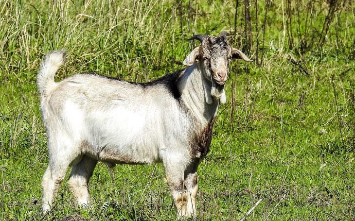 Goat Breeds: Boer Goat
