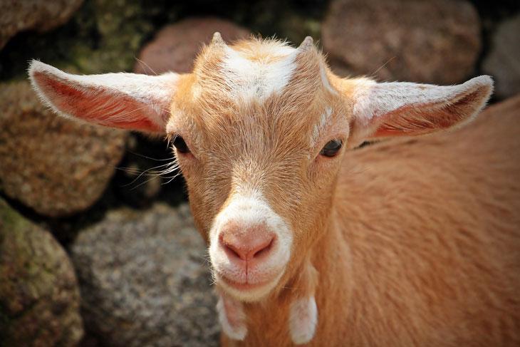 Goat Breeds: Pygora