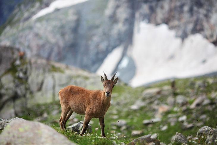 Rove Goat