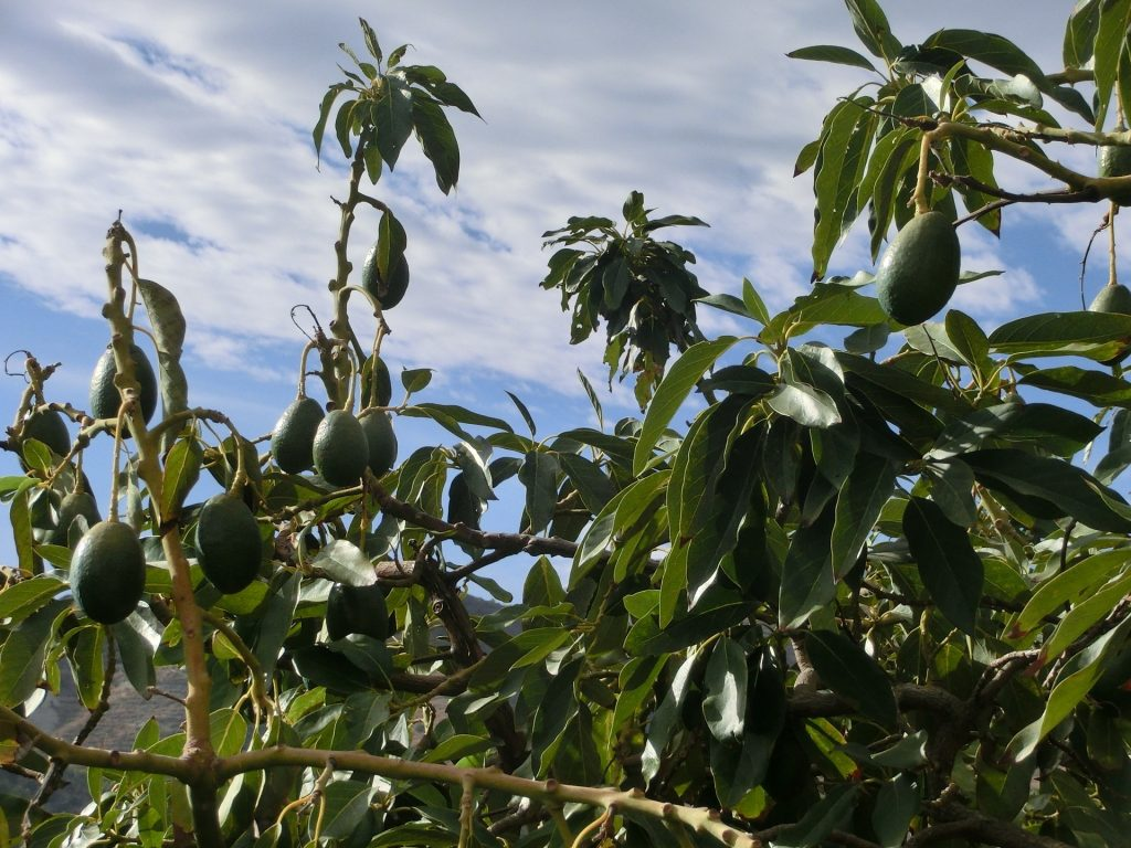 avocado tree plant