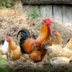 DIY Chicken Waterer Designs In 5 Simple Steps