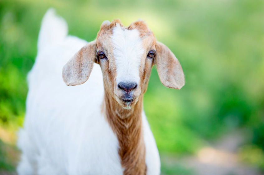 Types of Goat Breeds from A-Z