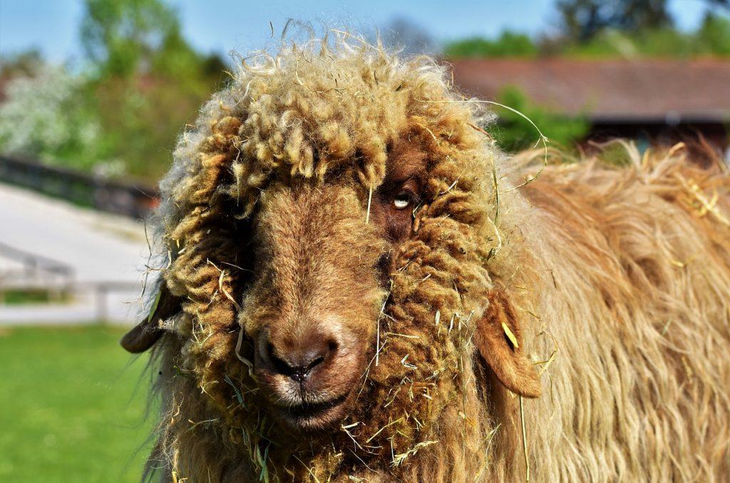 lincoin sheep