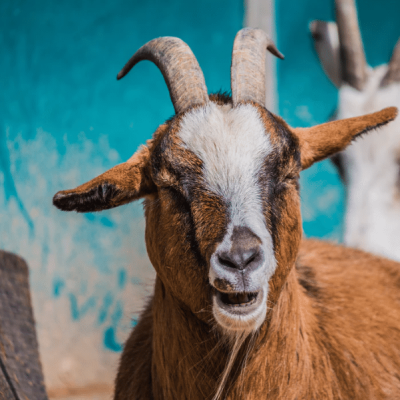 how to make goat milk a happy goat asks